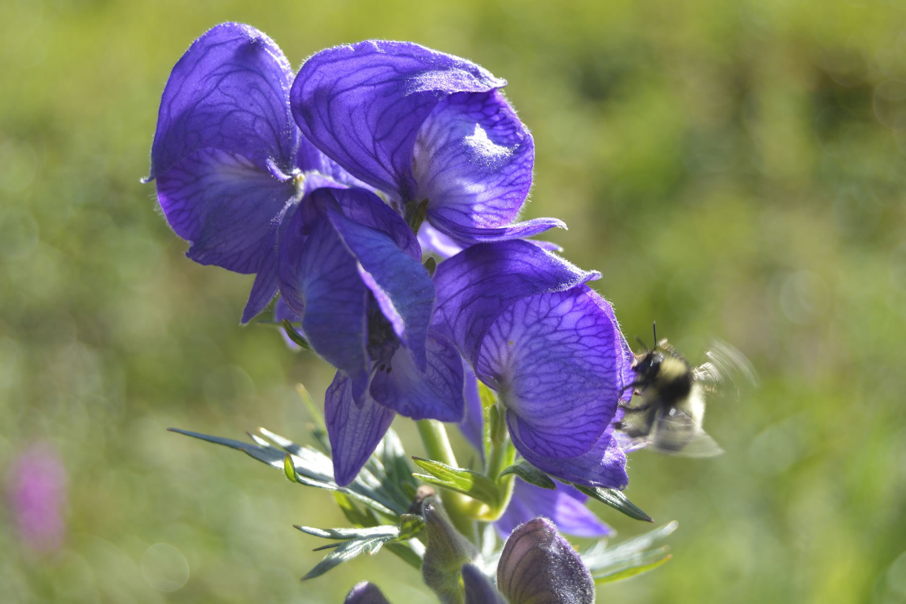 Photo of Aconitum maximum