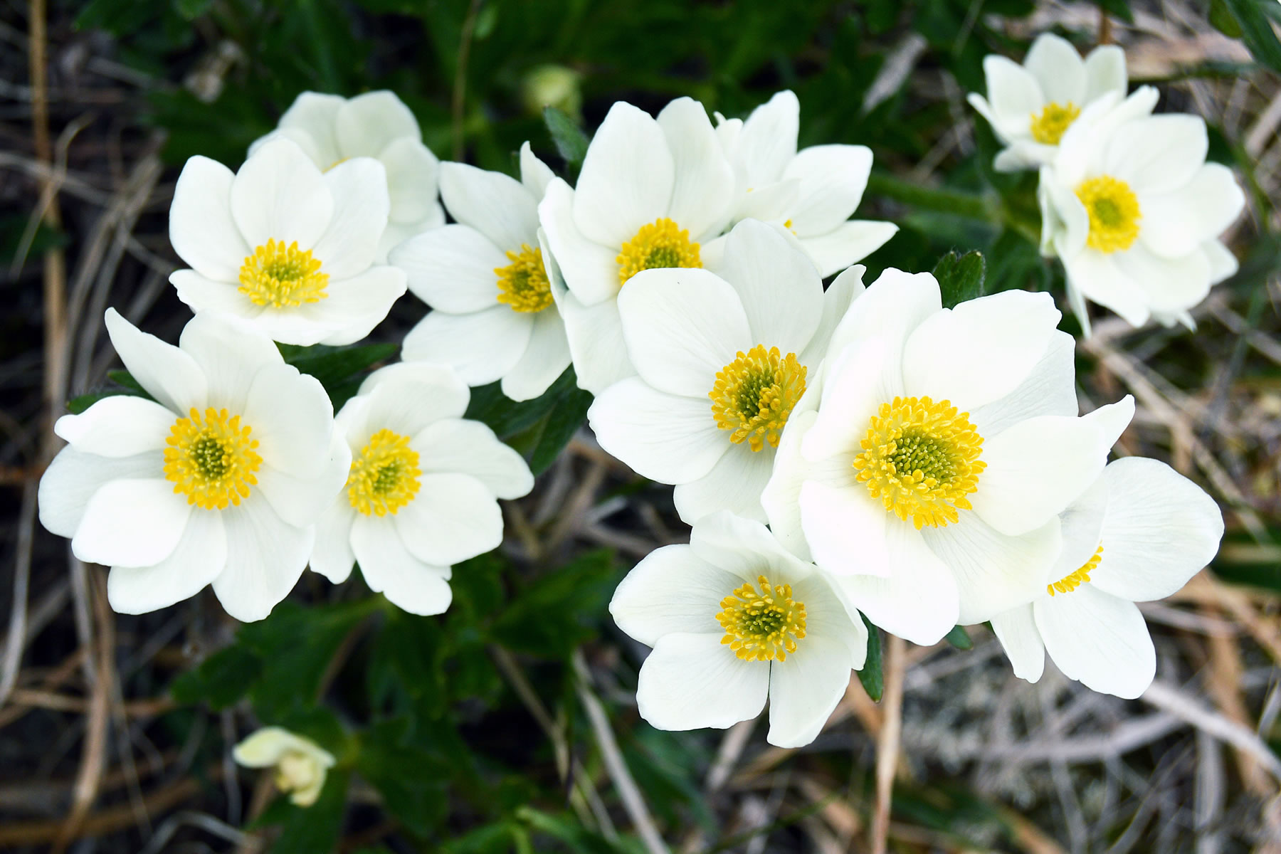 Photo of Anemone sibirica