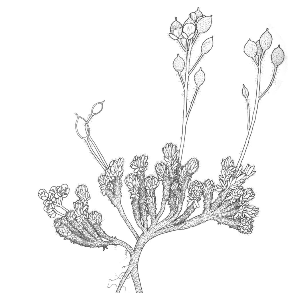 Illustration of Draba densifolia