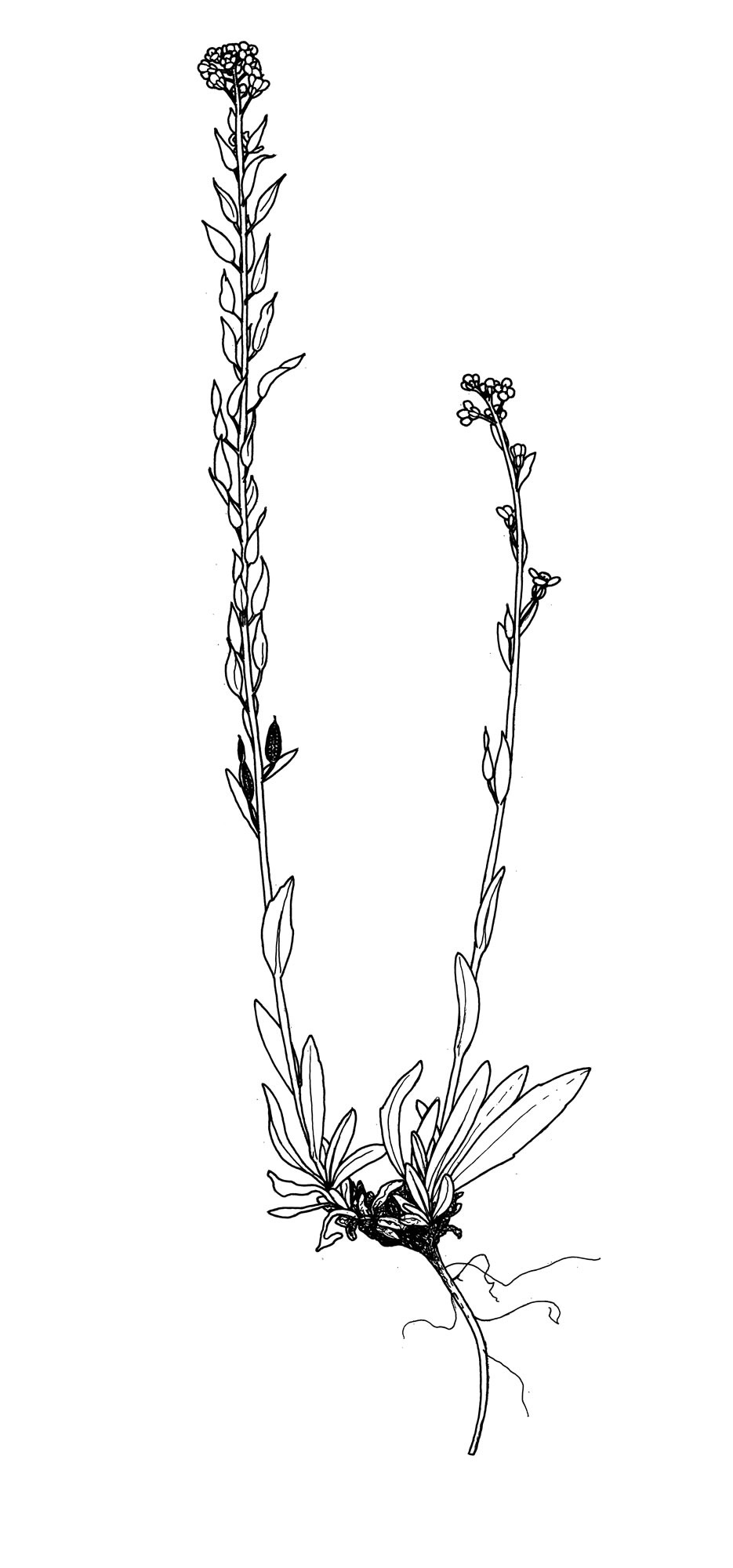Illustration of Draba aurea